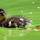 Duckling  by Evette Lisle