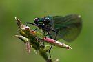 Female Banded Demoiselle by Neil Bygrave (NATURELENS)
