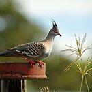 Crested Pigeon. Brisbane, Queensland, Australia. (6) by Ralph de Zilva