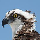 Osprey portrait by Anthony Goldman