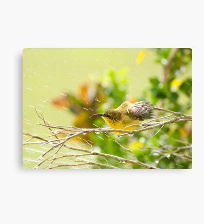 Raindrops keep falling - sunbird bathing. Canvas Print