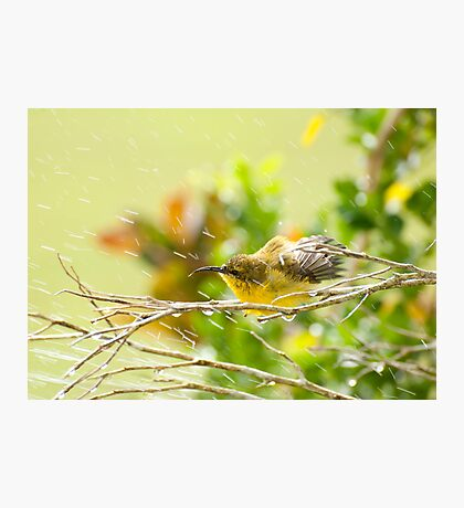 Raindrops keep falling - sunbird bathing. Photographic Print