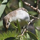 white winged triller by birdpics
