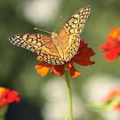 Perfection! (butterfly on Zinnia) by rasnidreamer