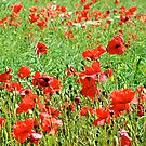 Poppies No.4 by Paul Berry