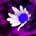 Purple Blue Daisy by Francesco Malpensi