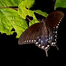 Black Swallowtail by Phillip M. Burrow