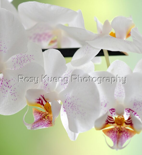 White Orchids by Rosy Kueng Photography