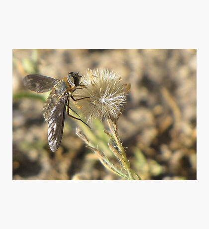 Bee Fly (family Bombyliidae) Photographic Print
