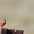 crimson chat by birdpics