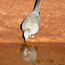 diamond dove reflection by birdpics