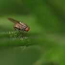 Fly on a thistle by Al Williscroft