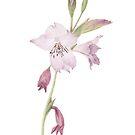 Gladiolus hirsutus by Vanessa Pasqualetto