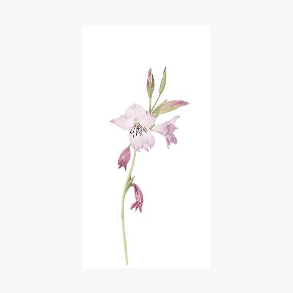 Gladiolus hirsutus Photographic Print