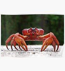 Red Crab (Male) At Blowholes Poster