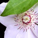 Clematis by KarDanCreations