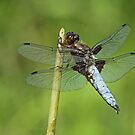 Male Broad-Bodied Chaser by Robert Abraham