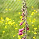 Wild foxgloves by Agnes McGuinness