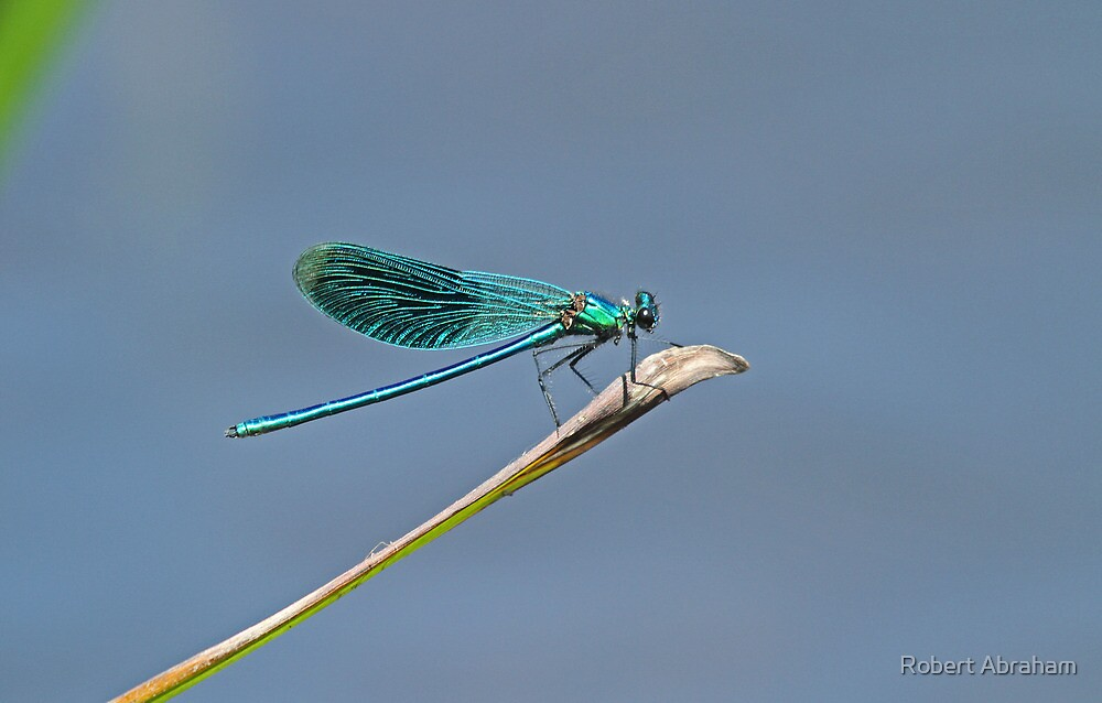 Male Banded Demoiselle by Robert Abraham