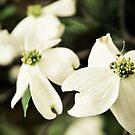 Spring Magnolias by Linda Trine