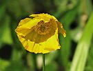 Yellow Poppy by Carol Bleasdale