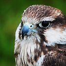 Bird of Prey by Paul Gibbons