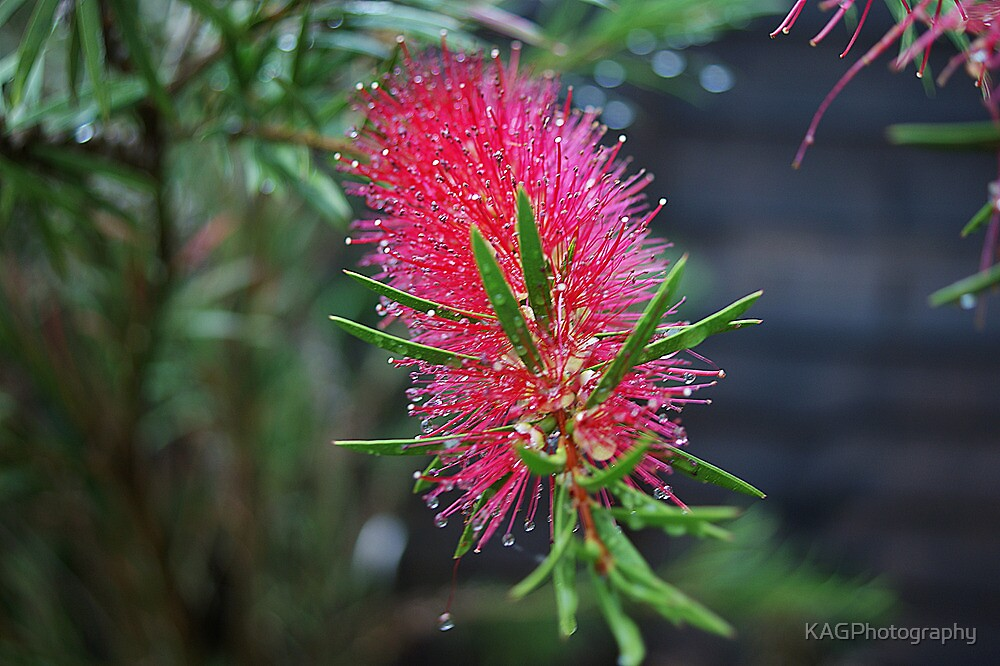 Blooming Bottle Brush by KAGPhotography