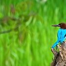 White-throated Kingfisher by Dilshara Hill