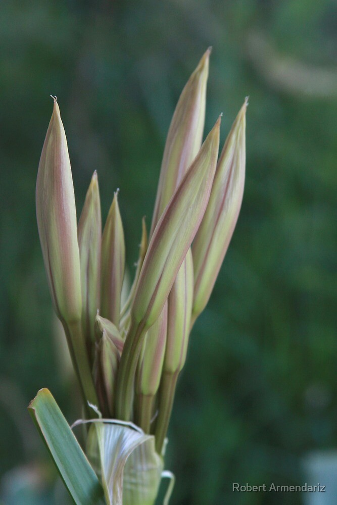 Daylily Buds by Robert Armendariz