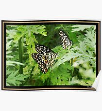 Common Lime Butterflies Poster