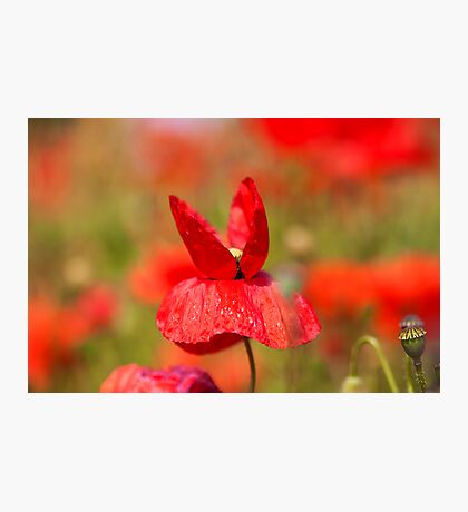 Butterfly Poppie Photographic Print