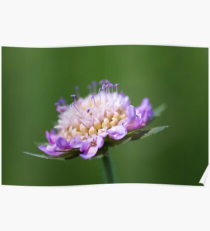 """Pincushion Flower"" – Scabiosa Columbaria Poster"