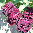 Amazing Roses # 5. by Vitta