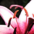 Deep inside the pink lily by Tracy DeVore