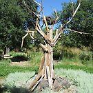 My Tree at Campovida in Hopland CA. by Sam Dantone
