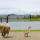 Canadian Geese  by Twistedwhisker1