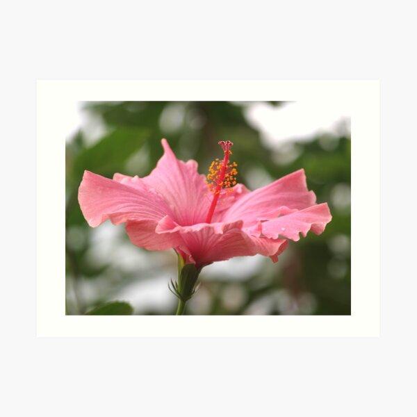 Hibiscus Blush Art Print
