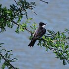 Eastern Kingbird  by barnsis