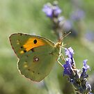 Clouded Yellow by marens