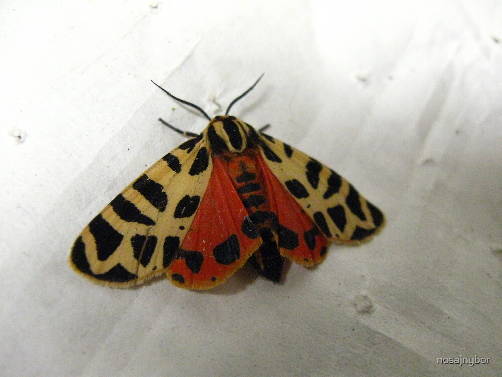 Tiger Moth in June by nosajnybor