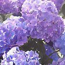 Blue Hydrangea by Bernadette Claffey
