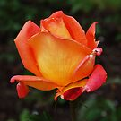 The Peachy Rose by Ralph Angelillo