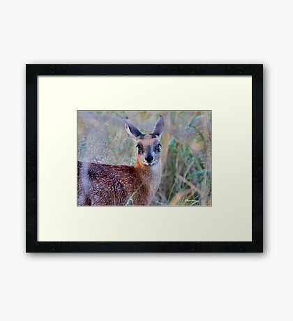 THE TINY, SHY, SCARCE, SHARPE'S GRYSBOK – Raphicerus sharpei Kruger National Park Framed Print