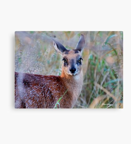 THE TINY, SHY, SCARCE, SHARPE'S GRYSBOK – Raphicerus sharpei Kruger National Park Canvas Print