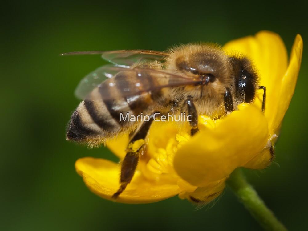 Honeybee taking some pollen by Mario Cehulic