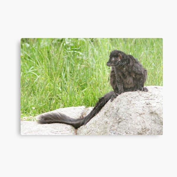 Lemur on a rock Metal Print