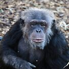 Chimp by Cathy Grieve