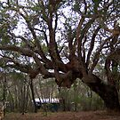 Very Old Marri Tree by Eve Parry