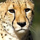 Cheetah by Cathy Grieve
