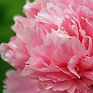 Beauty in Pink by Susan Blevins